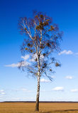 Birch (spring) Stock Photography