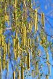 Birch  in spring Royalty Free Stock Image