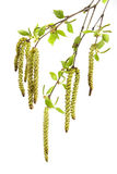 Birch spring foliage. Perfect spring foliage-young sticky leaflets of a birch Stock Image