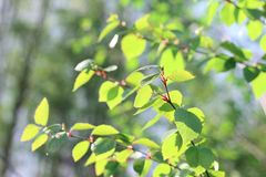 Birch spring foliage Royalty Free Stock Photos