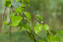 Birch spring foliage Stock Photography