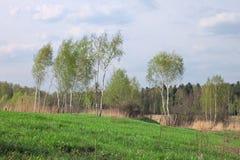 Birch in spring forest stock photos
