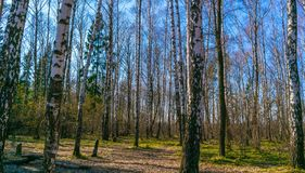 Birch Spring Forest royalty free stock photography