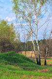 Birch in a spring forest stock image