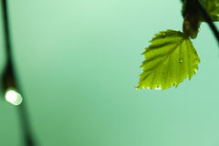 Birch spring leaf drops Royalty Free Stock Images
