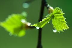 Birch spring leaves drops Stock Images