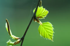 Birch spring leaves Royalty Free Stock Images