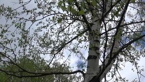 Birch in the spring. Panorama of camera movement from the bottom up on the trunk. HD video footage stock video footage
