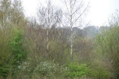 Birch in Spring, the start of the year royalty free stock image
