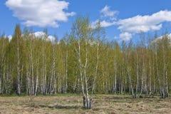 Birch spring Stock Image