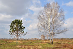 Comparison. Birch and spruce in the field, the comparison of shapes and sizes Royalty Free Stock Image