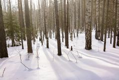 Birch and spruce forest on a winter day with fresh white snow stock images
