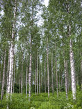 Birch stand in rows Royalty Free Stock Photos