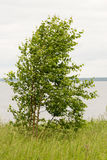 Birch standing in the wind Royalty Free Stock Images