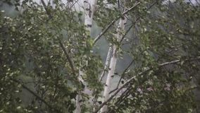 Birch in the strong wind. Storm. Nasty weather. stock video
