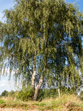 Birch at a stubble field Royalty Free Stock Photography