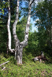 Birch and stump Royalty Free Stock Image