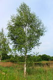 Birch in the summer Stock Photo