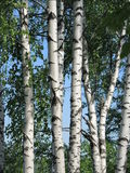 Birch in summer day Royalty Free Stock Photography