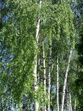Birch in summer day Stock Image