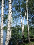 Birch in summer day Royalty Free Stock Photos