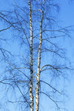 Birch in sunligh Royalty Free Stock Photo