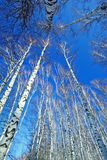 Birch in sunligh Stock Images