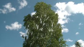Birch swaying against the sky. Birch swaying in the wind against a blue sky stock footage