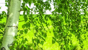 Birch Swaying. Blurred Background. stock footage