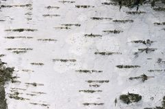Birch texture Stock Photography