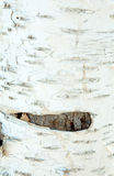 Birch texture. Abstract white black tree Royalty Free Stock Photos