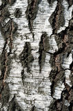 Birch texture Royalty Free Stock Image