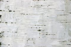 Birch texture background Stock Photo