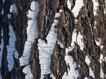 Birch. Texture of birch bark on the trunk Stock Photos