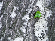 Birch texture Royalty Free Stock Photography