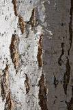 Birch texture. Close up. abstraction Stock Image