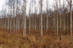 Birch Thicket. A thicket of birch trees during autumn Royalty Free Stock Photos