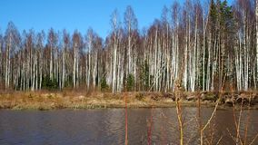 Birch thicket in spring. Trees grow near a forest pond. Details. And close-up stock video