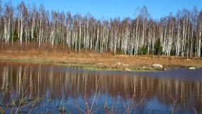 Birch thicket in spring. Trees grow near a forest pond. Details. And close-up stock video footage