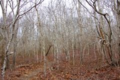 Birch Thicket Royalty Free Stock Photography