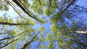 Birch tops in peaceful blue sky, rotation. Summer forest with green birch tops in blue sky stock video footage