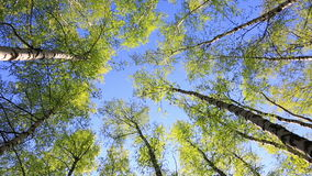 Birch tops in peaceful blue sky, zoom. Summer forest with green birch tops in blue sky stock video footage