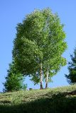 Birch tree royalty free stock photography