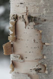 Birch tree Stock Photo