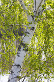 Birch tree. Spring. Close view of birch tree with young leaves royalty free stock photography
