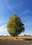 Birch tree. In the wind Stock Images
