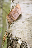 Birch tree Royalty Free Stock Photos