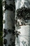 Birch tree. Bark of a Birch trees from Finland Stock Image