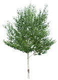 Birch tree. Royalty Free Stock Photos