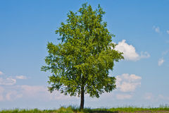 Birch Tree. Birch with a brightly green leaf on a background clean sky Royalty Free Stock Photos